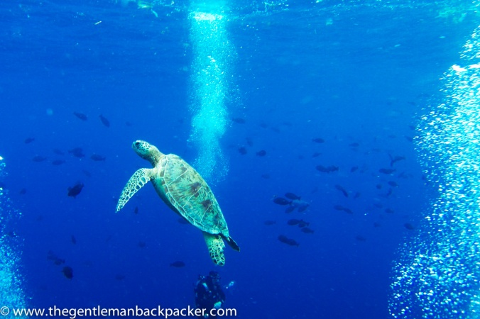 An endangered green turtle rises to the surface for air, while a SCUBA diver descends upon entry into the water